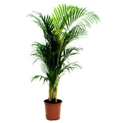 Areca plant  - Delivery Patras city