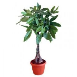 Παχυρα φυτο - Τιμη ανθοπωλειου Πατρας