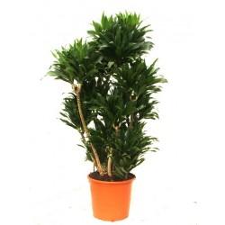 Κομπακτα φυτο - Τιμη ανθοπωλειου Πατρας