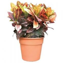 Κρότον φυτο - Τιμη ανθοπωλειου Πατρας