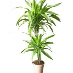 Lemon Lime Dracaena plant  - Delivery Patras city