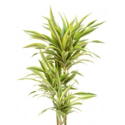 Big Lemon Lime Dracaena plant - Delivery Patras city