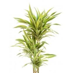 Μεγαλο Λέμον φυτο - Τιμη ανθοπωλειου Πατρας