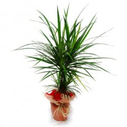 Dracaena plant  - Delivery Patras city