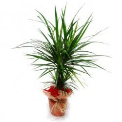 Φυτο Δρακαινα  - Τιμη ανθοπωλειου Πατρας