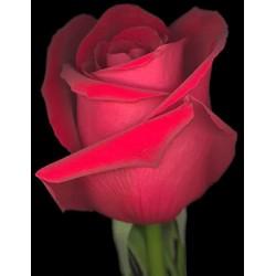 Κοκκινο τριανταφυλλο - Τιμη ανθοπωλειου Πατρας