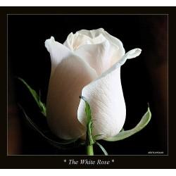 Λευκα τριανταφυλλα - Τιμη ανθοπωλειου Πατρας