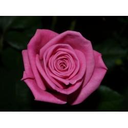 Ροζ τριανταφυλλα - Τιμη ανθοπωλειου Πατρας