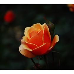 Πορτοκαλι τριανταφυλλα - Τιμη ανθοπωλειου Πατρας