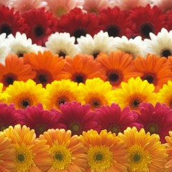 Mixed Gerbera   - Only for Patras city