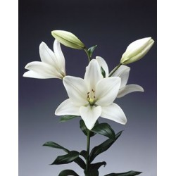 White lIlies - Only for Patras city