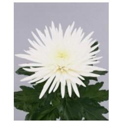 Αναστασια Λευκο - Τιμη ανθοπωλειου Πατρας