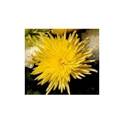 Αναστασια Κιτρινο - Τιμη ανθοπωλειου Πατρας