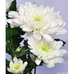 Chrysanthemum white - Only for Patras city