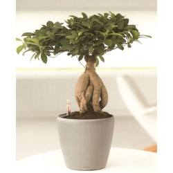 Bonsai 65cm  - Delivery Patras city