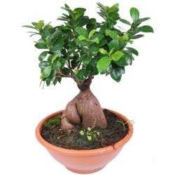 Bonsai 30cm  - Delivery Patras city