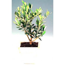 Olea Bonsai 25cm  - Delivery Patras city
