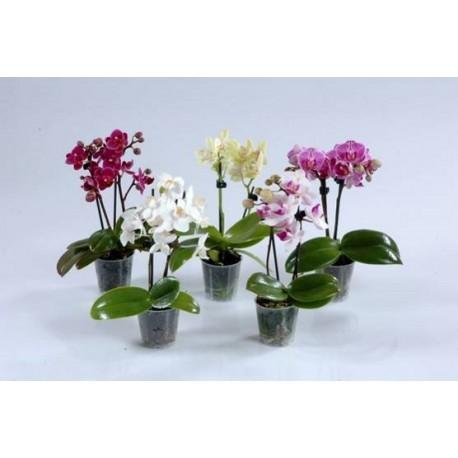 Phalaenopsis Orchid mini - Varius colour