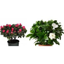 Φυτο Γαρδενια ή Φυτο Αζαλεα