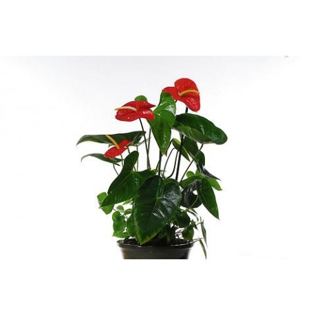 Anthurium Small - Delivery Patras city