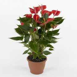 Anthurium medium - Delivery Patras city