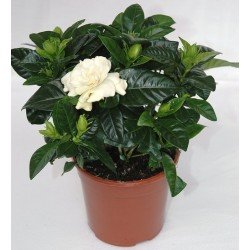Small Gardenia - Delivery Patras city