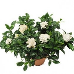 Medium Gardenia - Delivery Patras city