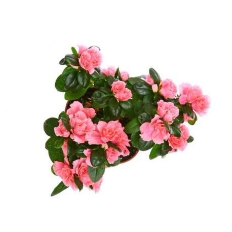 Αζαλέα φυτο. Τιμη ανθοπωλειου Πατρας