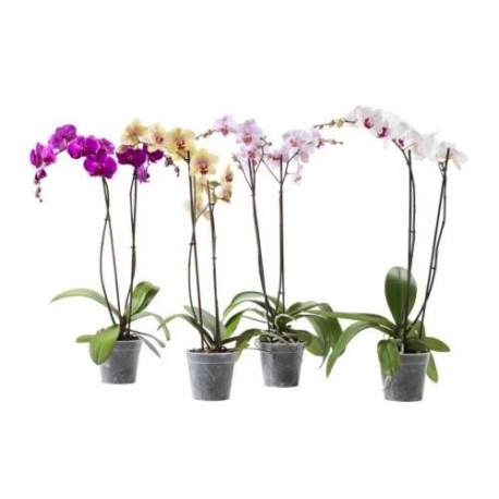Orchid Phalaenopsis plant - Delivery Patras city
