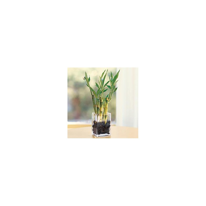 Bamboo In Vase Delivery Patras City Milva Flowers