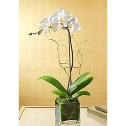 Orchid Falenopsis in vase  - Delivery Patras city