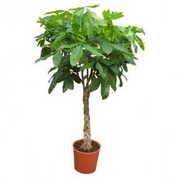 Μεγαλη Παχυρα φυτο - Τιμη ανθοπωλειου Πατρας