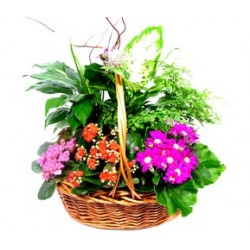 Zamioculcas in basket - Delivery Patras city