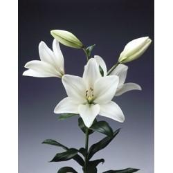 Λιλιουμ λευκα - Τιμη ανθοπωλειου Πατρας
