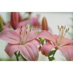 Λιλιουμ ροζ - Τιμη ανθοπωλειου Πατρας