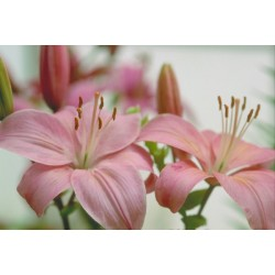 Pink lIlies - Only for Patras city