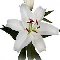 White oriental - Only for Patras city