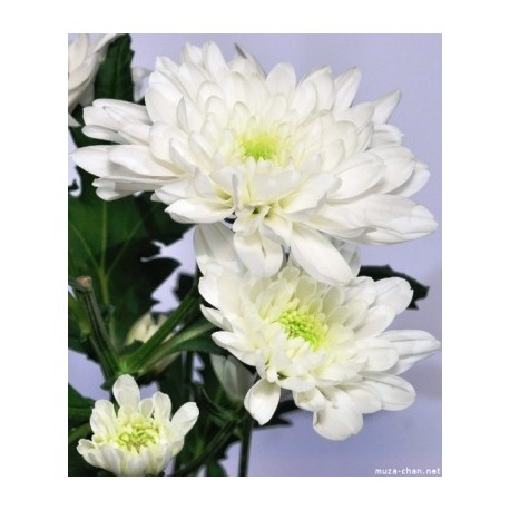 Chrysanthemum white only for patras city milva flowers chrysanthemum white only for patras city mightylinksfo