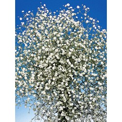 Gypsophila white - Only for Patras city