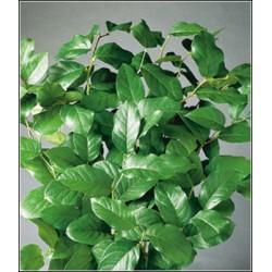 Σαλαλ πρασιναδα - Τιμη ανθοπωλειου Πατρας