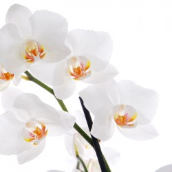 Orchid Falenopsis White - Only for Patras city