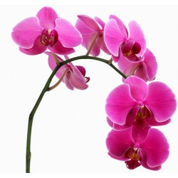Orchid Falenopsis pink - Only for Patras city