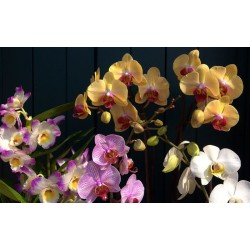 Orchid Falenopsis mixed - Only for Patras city