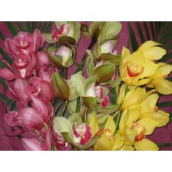 Orchid Cymbidium mixed - Only for Patras city