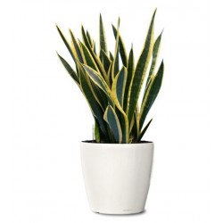 Sansevieria  - Delivery Patras city