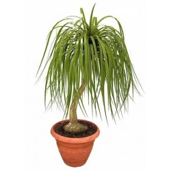 Ponytail Palm Tree  - Delivery Patras city