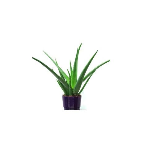 Aloe Vera plant  - Delivery Patras city