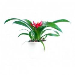 Guzmania minor bromeliads