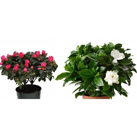 Plant Gardenia or Azalea plant