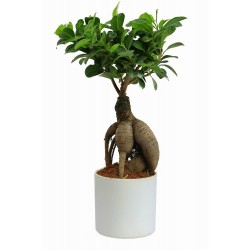 Bonsai small